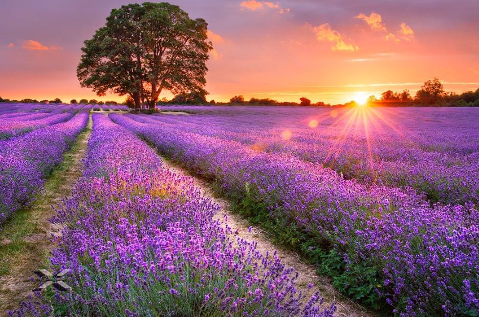 Фото картин с лавандовым полем